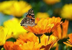 Copia de mariposa-flor-amarilla