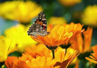 mariposa-flor-amarilla